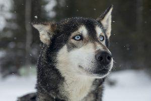 Los huskies son unos de los perros más veloces - PUNTA TACÓN TV